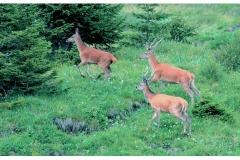 Il cervo - Agosto