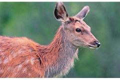 Il cervo - Ottobre