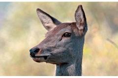 Il cervo - Novembre