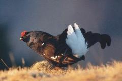 Giugno - Gallo forcello