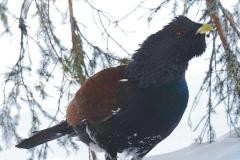 Dicembre - Gallo cedrone