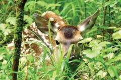 Giugno - Piccolo di cervo