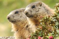 Settembre - Marmotte