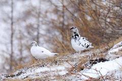 Dicembre - Pernici bianche, Renato Grassi